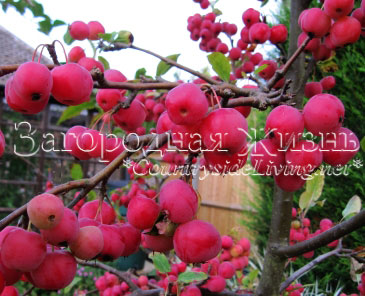 Дикие яблоки (китайка, Malus spp) в моем саду, октябрь