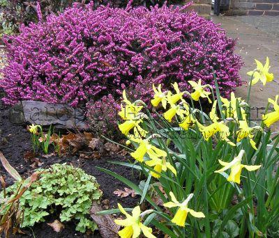 Эрика и нарциссы цветут в моем саду. Март