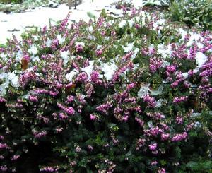 Первые весенние цветы - первоцветы. Вереск эрика карнея в моем саду цветет под снегом, февраль