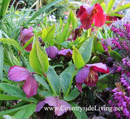 Морозник и вереск эрика в моем саду в пышном цвету. Март