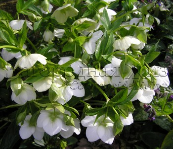Морозник восточный белый в моем саду, цветы. Январь