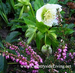 Морозник и вереск эрика, цветы. Январь в моем саду