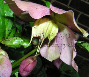 Морозник, цветок и семенная коробочка крупным планом