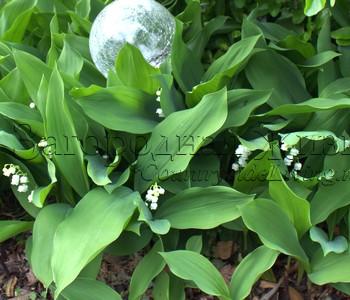 Теневыносливые и тенелюбивые растения (ландыши) в тенистом саду