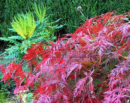 Магония японская и японский клен в моем саду, октябрь