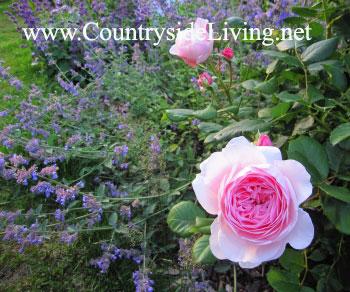 Цветник своими руками. Сиреневый миксбордер (смешанный цветочный бордюр, цветник), июнь 2010 г.