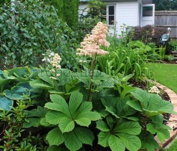 Рождерсия в моем саду. Весьма эффектное теневыносливое растение почвопокровник с крупными фактурными листьями и свечко-подобными цветами