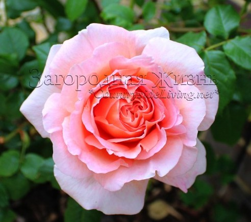 Английская роза 'Абрахам Дарби' (Rosa 'Abraham Darby' ® Auscot) в моем саду