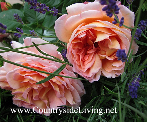 Роза Остина 'Абрахам Дарби' (Rosa 'Abraham Darby' ® Auscot) в моем саду. Рядом - английская лаванда