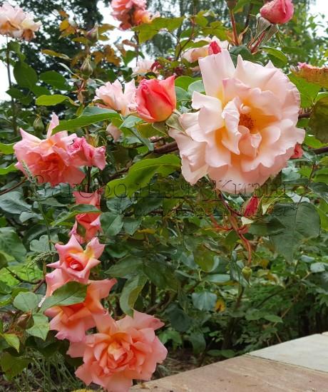 Роза флорибунда 'Компассион' (Rosa 'Compassion') в моем саду