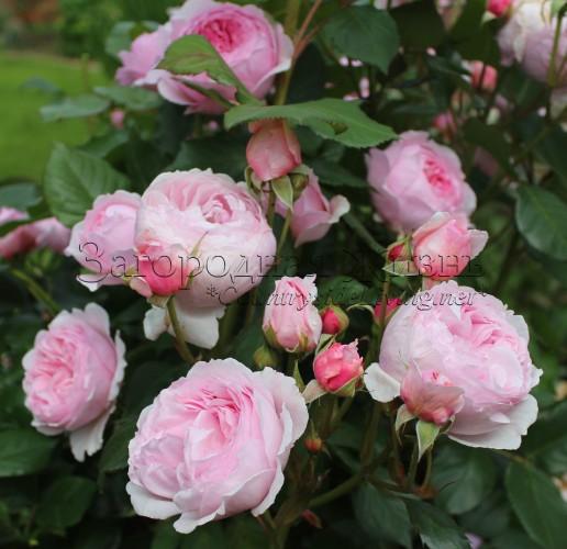 Купить розы остин розы в белгороде где купить