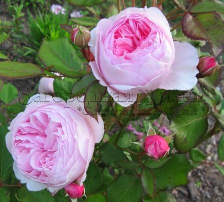 Английская роза Остина 'Джефф Гамильтон' (Rosa 'Geoff Hamilton ® Ausham') в моем саду