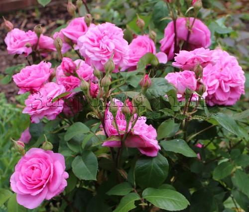 Английская роза Остина 'Гертруда Джекил' (Rosa 'Gertrude Jekyll ® Ausbord')
