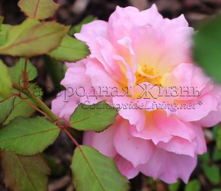 Роза Остина 'Джубили Селебрейшн' (Rosa 'Jubilee Celebration ® Aushunter') в моем саду