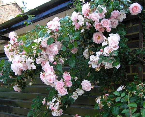 Плетистая роза 'Нью Доун' (Rosa 'New Dawn') в моем саду