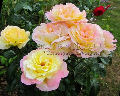 розы сорт глория-дей фото