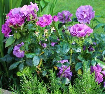 """Роза """"Голубая рапсодия"""" в моем саду"""