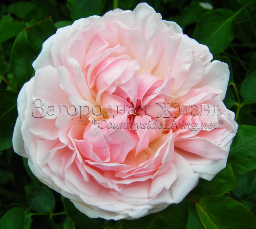 Английская роза Дэвида Остина 'Ст. Свитун' (Rosa 'St. Swithun ® Auswith') в моем саду