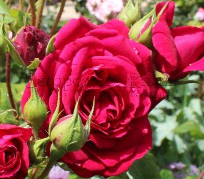 Английская роза Остина 'Тэсс из рода д'Эрбервиллей' (Rosa 'Tess Of The d'Urbervilles ® Ausmove') в моем саду