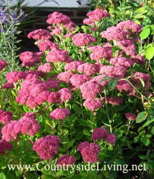 Седум (очиток) видный в моем саду. Цветы. Sedum spectabile