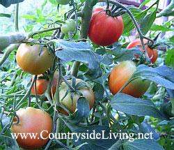 Tomatoes 2006 - Томат, помидор