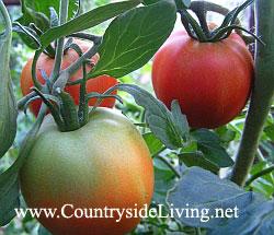 Помидоры (томаты) у меня в теплице. Выращивание