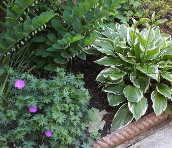 Теневыносливые и тенелюбивые цветы, цветник в тени (фрагмент): садовая герань, манжетка и морозник