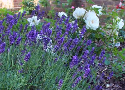Лаванда разных видов и сортов в цветнике с розами. Мой сад