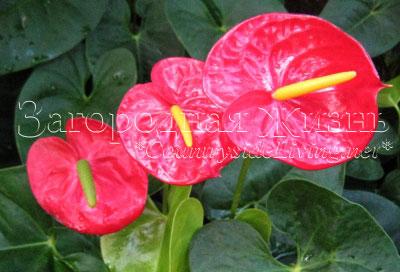 Уход в домашних условиях anthurium andreanum