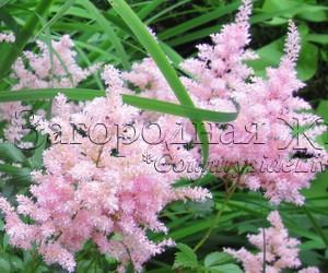 Астильба цветы в саду фото