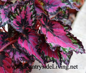 Бегония гибридная c декоративными листями 'Эмейзинг'. Begonia 'Amazing'