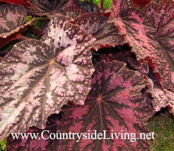Бегония королевская (рекс), уход в домашних условиях. Begonia x rex