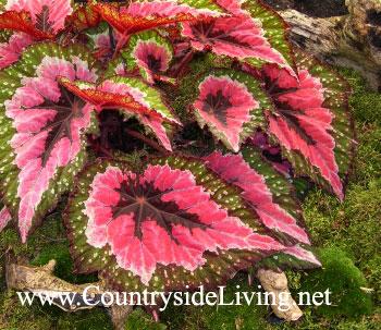 Бегония 'Мерри Кристмас', уход в домашних условиях. Begonia 'Merry Christmas'