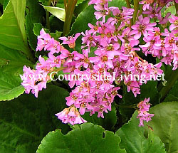 Лечебные садовые цветы фото