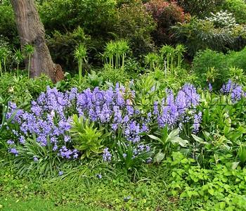 Пролеска (сцилла, гиацинтоид) - почвопокровник в естественном саду