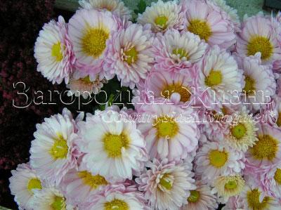 Хризантемы кустовые многолетние садовые