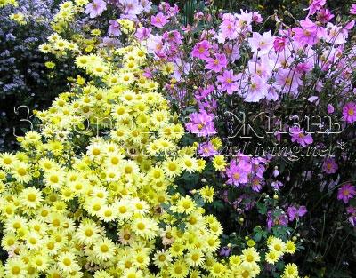 Хризантема кустовая 'Early Yellow' и японские анемоны на осеннем бордюре