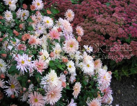 Хризантемы садовые многолетние кустовые и седум