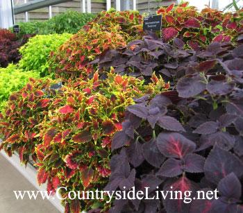 Растения (цветы) колеус в ботаническом саду Уизли, Англия (Coleus, Solenostemon)