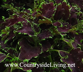 Колеус 'Crinkly Bottom' (Coleus, Solenostemon)