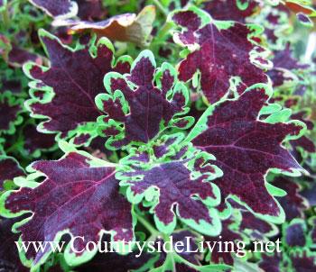 Колеус 'Piasca Ruby' (Coleus, Solenostemon)
