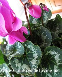 Цикламен домашний (персидский). Cyclamen persicum