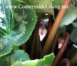 Цикламен домашний (персидский). Cyclamen persicum. Бутоны цикламена прячутся под листьями