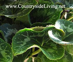 Цикламен домашний (персидский). Cyclamen persicum. Листья