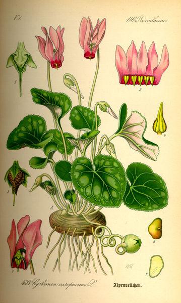 Цикламен пурпурный. Старинная иллюстрация О. В. Томе (O.W.Thomé), 1885 г.