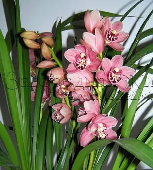 Орхидея цимбидиум (Cymbidium). Цветение