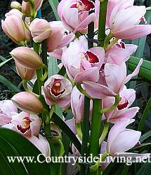 Цимбидиум (симбидиум), орхидея. Уход, фото, содержание, пересадка, цветение