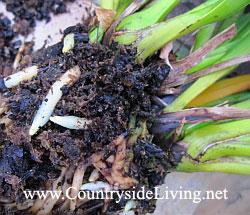 Орхидея цимбидиум (Cymbidium). Старые и новые корни срослись в плотный ком. Деление и пересадка