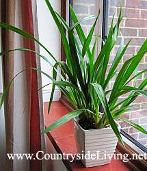 Цимбидиум (симбидиум). Орхидея цимбидиум (Cymbidium) на моем окне