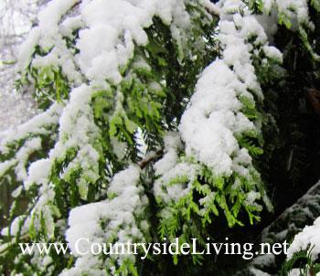 Сад зимой вечнозеленые деревья и